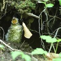 エゾハルゼミを丸飲みするオオルリの雛