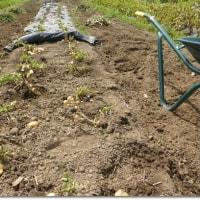 ジャガイモ堀は楽しい
