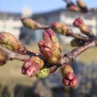 奥能登の桜のつぼみ