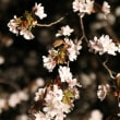 * Cherry Blossomed 2017 *