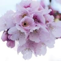 大寒桜の、、撮影に、、。