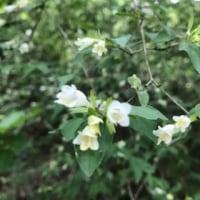 オオバノトンボソウ早、てっぺんに花芽が