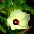 『季節の花』 オクラ