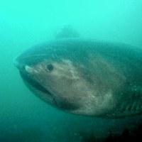 主要  幻の巨大サメ「メガマウス」死ぬさかなクンも「残念