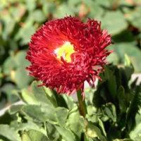 ちいちゃんとデイジーの花