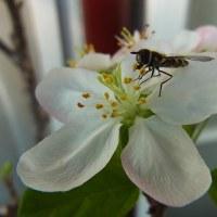姫リンゴの花が 咲いています