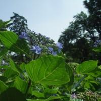 権現堂堤の紫陽花