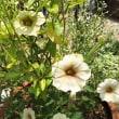 元気に咲いているペチュニア