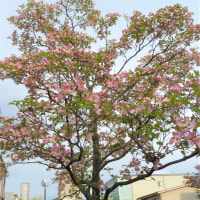 Double cherry blossoms & Benthamidia florida are in full bloom in my town