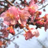 桜の花~もの思う心   相模原市