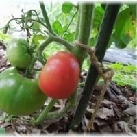 大玉トマトが