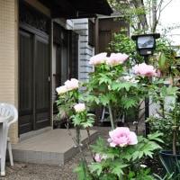 見ごろな牡丹 2017.4.26.(水)