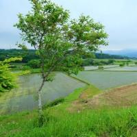 新緑の稲田