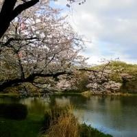横浜市の三ツ池公園の桜です