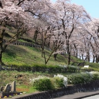 今年の桜(津久井 花の苑地)