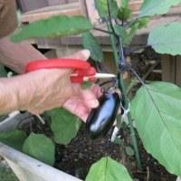茄子の収穫。