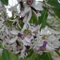 栴檀(センダン)の小さな花