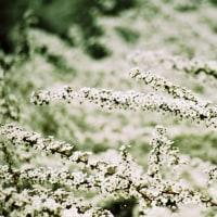 ゆきやなぎの咲くころに