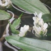本覚寺の枝垂れ桜 咲き始める