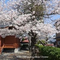 散歩コースの桜