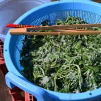 今年も昨年に続いて草餅用のヨモギ摘みをしてきました このところの暖かさで伸びていました