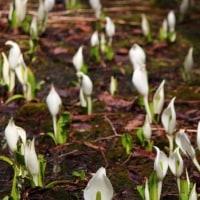 ヘブンスそのはらの水芭蕉・・・雪解けの湿地にきれいに咲いています。