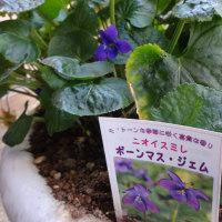 スミレの育て方10月 スミレの花を楽しむ  ボーンマス・ジェム開花