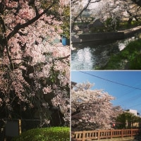 地元 名残惜しい桜