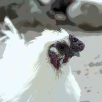 真清田神社にいるアウトレイジな烏骨鶏 その2