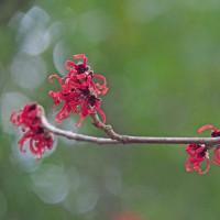 赤いマンサク咲き出す