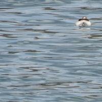 一級河川の水鳥