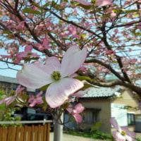 【歳時メモ】 花水木、春紫菀