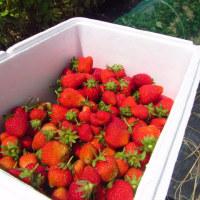 イチゴ終了、次は苗取り