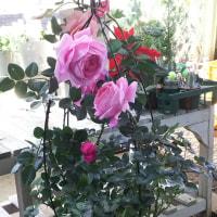 豊かな香りで多数の受賞をしている秋の大輪の薔薇の苗木