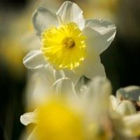 2017西洋スイセンが花開き春がきたよとラッパを鳴らす (福岡市東区海の中道海浜公園)