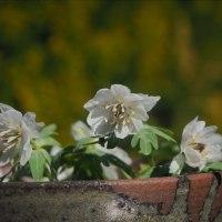 セツブンソウの花もボチボチ終りです。色々な花が咲きました。