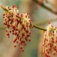 樹木ウォッチング冬から夏へ170ネグンドカエデ2