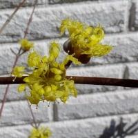 早春の花 サンシュユ
