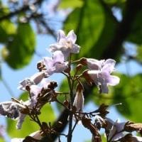 薄紫色のキリの花