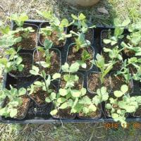 グリーンビースとソラマメの苗をまたいただきました