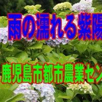 鹿児島市都市農業センターの紫陽花