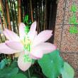 3688・ハスの花