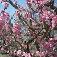 満開の梅の花 ・「春の宴」