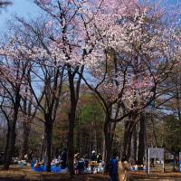 桜 2017〈3〉