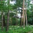 那須街道赤松林のヤマユリを見てきました