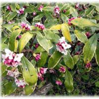 春の到来を告げる花(^^♪素晴らしい沈香と丁香の香りを漂わせる「沈丁花 (じんちょうげ)」
