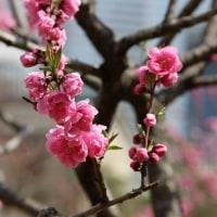 藤田邸跡公園の桃の花