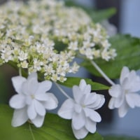 やはり6月の花は アジサイですね!