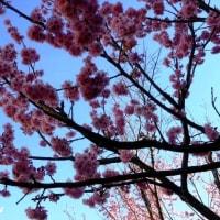 相模が丘「仲良し小道」を5種の桜たちが揃い踏み!!