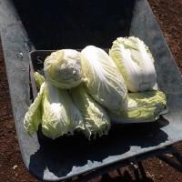 最後の白菜